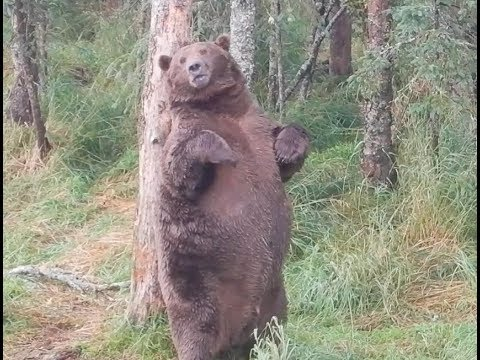 Lihava karhu astelee rannalle – Rasvakerros valmiina talveksi