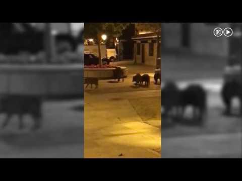Unos jabalíes se pasean por el centro de Torrelodones  Madrid