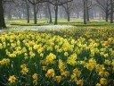 Seven Daffodils