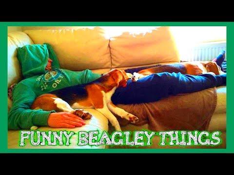 beagle allegri e impazziti