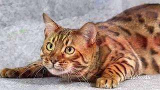 Download Video 9 Kucing Paling Mahal Di Dunia 2017 MP3 3GP MP4