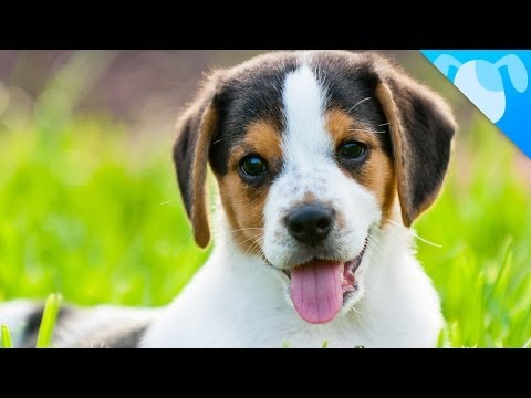 the beagle: a special and cute dog
