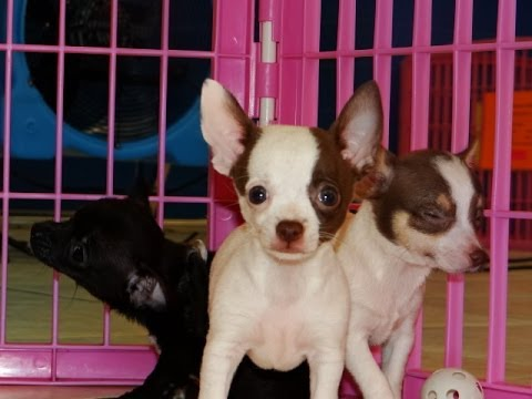 Chihuahua, Puppies, For, Sale, In, Columbia, South Carolina, SC, Newberry, Forest Acres, Oak Grove,