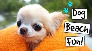 CUTE PUPPY sized chihuahua SWIMMING and dog beach fun
