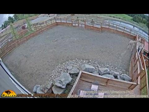 Giraffe Cam - Animal Adventure Park (видео)