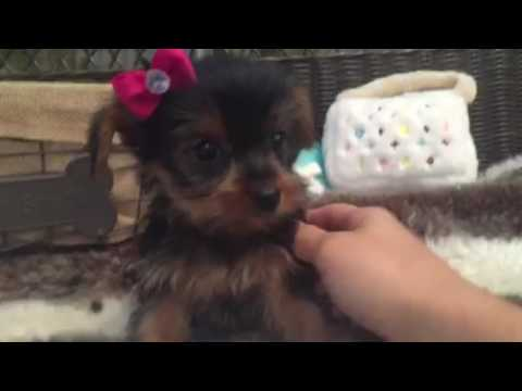 SWEET AND SASSY YORKIE FEMALE