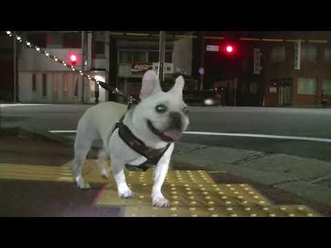 夜の国道を散歩するフレンチブルドッグ五郎。French bu …