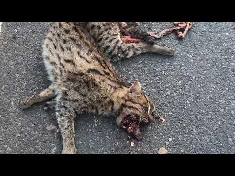 Video Bhubaneswar re Bagha - Tiger accident in Bhubaneswar Puri Road download in MP3, 3GP, MP4, WEBM, AVI, FLV January 2017