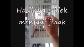 Download Video Cara menjinakkan burung ciblek MP3 3GP MP4