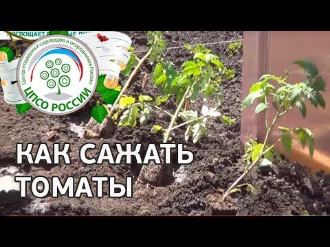 Как посадить томаты в открытый грунт.