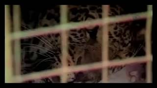 Never Poke a Leopard Dramatic Leopard Attack not for sensitive viewers full download video download mp3 download music download