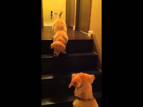Puppy Learns to Go Down Stairs with Help from Older Dog