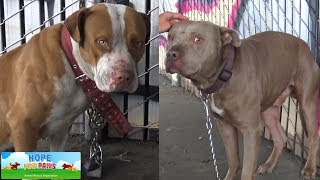 Two Pit Bulls tied with chains and locks abandoned under the freeway. by Hope For Paws