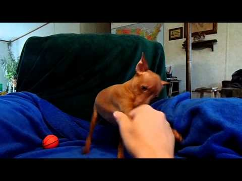 AKC red nosed red - Cricket 03-31-14