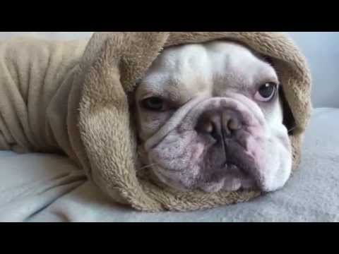 top 10 sleepy french bulldogs
