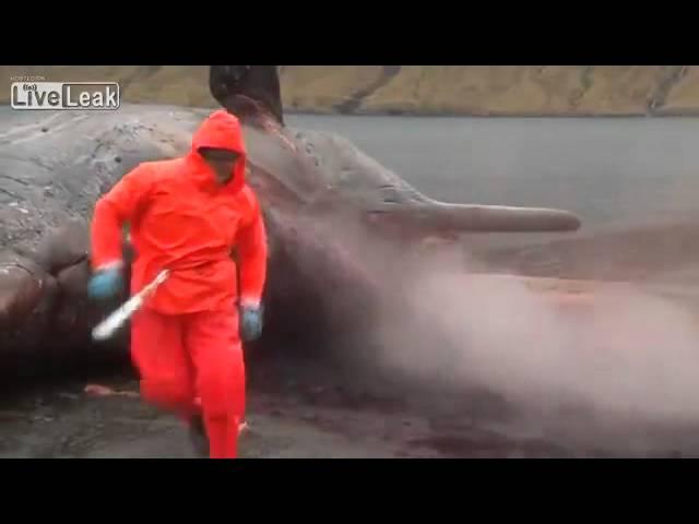 Mổ bụng cá voi, chống chỉ định xem khi đang ăn