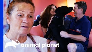 Loving Labrador Makes Perfect Companion For New Family | Pit Bulls & Parolees by Animal Planet