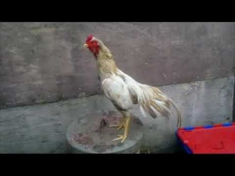 Asil (chicken) - by altaf hussain.
