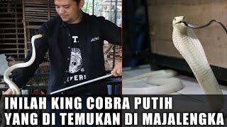 Video KING COBRA PUTIH | MUNGKINKAH SATU-SATUNYA DI DUNIA?? MP3, 3GP, MP4, WEBM, AVI, FLV Juni 2019