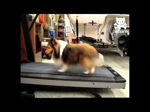 Lassie gets a workout on the treadmill