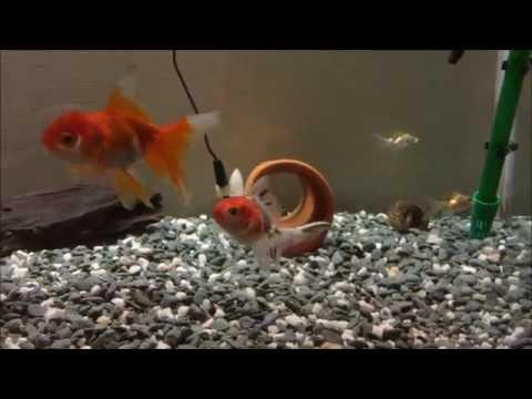 金魚水槽に新しい金魚を投入(オランダ獅子頭と東錦)
