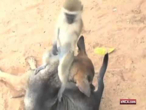 kenya-cane-adotta-scimmietta-251