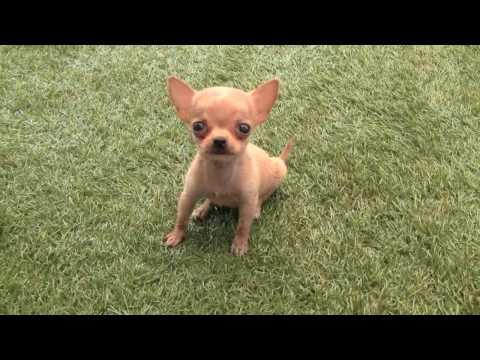 Chihuahua Robin un cachorro muy gracioso