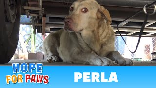Yellow Labrador dumped after being used for breeding puppies.  Look how happy she is now! by Hope For Paws