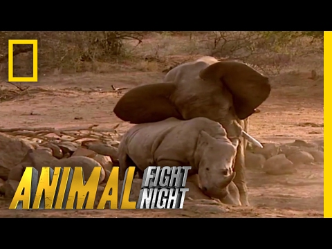 Elephant vs. Rhino   Animal Fight Night