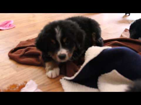 Oaken, bernese mountain puppy 6 weeks