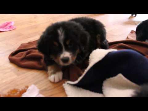 Oaken, bernese mountain puppy 6 weeks