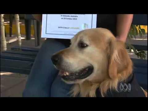 Golden Retriever from Australia Holds Record for World's Loudest Bark