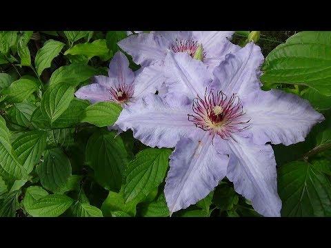 #Пожелтение_листьев клематиса (#хлороз). Метод лечения. (видео)