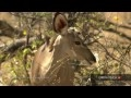 http://www.earth-touch.com It's all about animal predators in this HD video. Jackals hunt birds for their breakfast & a leopard chases after its prey. The Ea...