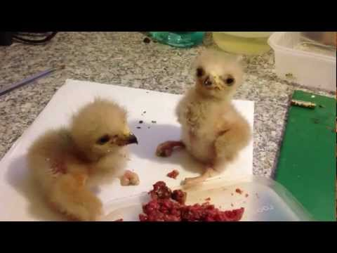 Baby Harris Hawks Fighting