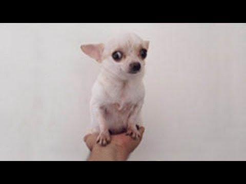 Teacup Chihuahua full grown in the hand !! – Chihuahua de Bolsillo Adulto en la Palma de la Mano !