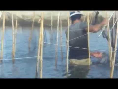 Partial harvest of Indian white shrimp in Egypt