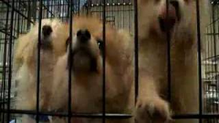 Kaufman (TX) United States  City new picture : 550 dogs rescued from Kaufman, Texas puppy mill