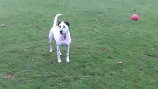 http://www.dogtrainers.co.uk http://www.a&bdogs.co.uk PROPER Dog Training and Boarding kennels fully licensed and insured, ...