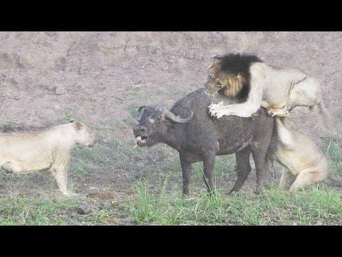 眼看已經將被獅群分食的絕望水牛…卻突然出現了讓全世界都意想不到的「英雄」!