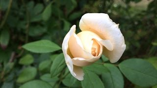 Rose en plusieurs langues: English: Rose Afrikaans: Roos العربية: ورد (نبات), وردة ܐܪܡܝܐ: ܘܪܕܐ azərbaycanca: İtburnu, Qızılgül беларуская: Ружа...