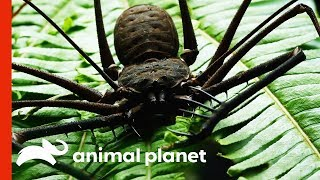 Fearsome-Looking Whip Spider Sheds Its Exoskeleton   Weird, True and Freaky by Animal Planet