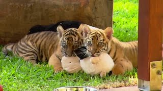 Cute Tiger Cubs Pose For Cameras - Tigers About The House - BBC full download video download mp3 download music download
