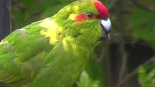 Red Crowned Parakeet -  A LONG WAY FROM HOME !