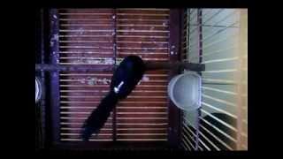 Suara Burung Murai Lampung Gacor