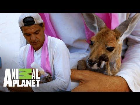 Frank rescata canguro bebé  Wild Frank: Tras la evolución de las especies  Animal Planet