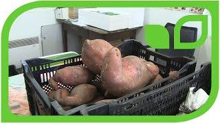 Curing der Süsskartoffeln