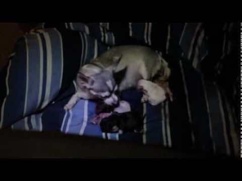 Chihuahua gives birth to pup3, eats afterbirth
