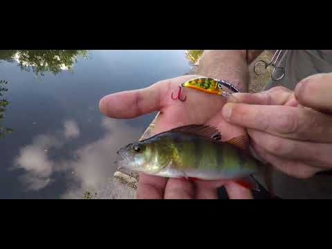 Canal fishing Manchester urban predator big perch small perch monster perch perch heaven salmo lures