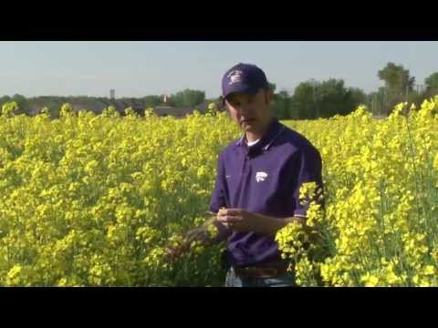 canola - K-State canola breeder, Mike Stamm would like more farmers in Kansas to grow canola as a rotational crop with wheat.
